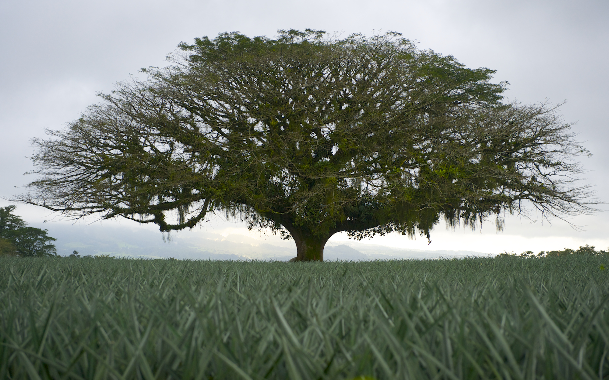 Tree in Pinapple field